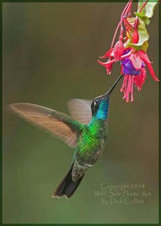 Magnificent Hummingbird!