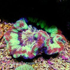 Trachyphyllia geofroyi Rainbow L Rainbow, Fish, Rain Bow, Rainbows