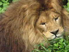 lion | Description Niabi zoo lion.jpg