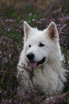 White Shepherd - sure looks like Chewy!