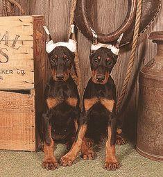 #Doberman #Pinscher #Puppies