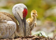 Sandhill crane (Grus canadensis). Adult and chick.
