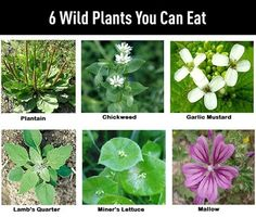 Wild Plants You Can Eat