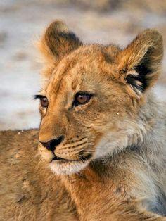 Scruffy male lion cub
