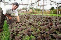 Cách trồng tía tô - hướng dân chi tiết Plants, Plant, Planets