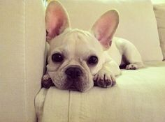 French bulldog-what's a girl to do to get one of these precious gifts from god???!!!