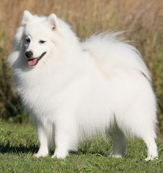 ⏪ Japanese Spitz ⏩ companion dog and pet. Active, loyal, and bright, the Japanese Spitz are known for their great courage, affection and devotion making them great watchdogs and ideal companions for older people and small children.