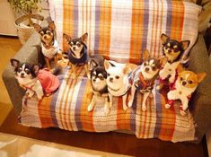 What's better than having a chihuahua! Having eight!