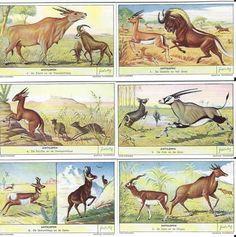 Papierdier - OXO verzamelkaartjes - Antilopen