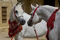 """Arabian Horse by Mohammad Alkanderi, via 500px...""""okay, I think we're ready, you look great""""<3"""