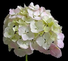 With its striking bright yellow-green foliage and large pinkish-white mophead flowers, this hydrangea will brighten up any shady part of the garden. Hortensia Hydrangea, Hydrangea Macrophylla, Hydrangea Garden, Green Hydrangea, Hydrangea Flower, Colorful Shrubs, Colorful Flowers, White Flowers, Beautiful Flowers