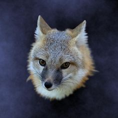 This swift fox occasionally enjoys an out-of-body experience.  (Available on various products in the Foxes category in my Portraits Naturally store.)