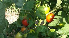 Organsko carstvo: Uzgoj rajčice u organskom vrtu