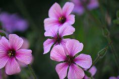 El geranio   Cuidar de tus plantas es facilisimo.com