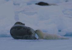 Femelle Phoque du Groenland s'occupant de son petit.