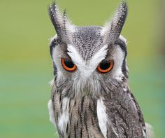 southern white-faced scops owl  (photo by copout2010)