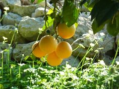 Agriturismo Limoneto, Sicily. Our oranges are organically grown. Varieties are Navelina, Tarot, Oval and Valencia http://www.organicholidays.co.uk/at/740.htm