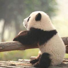 Trendy baby animals panda so cute Ideas Funny Panda Pictures, Panda Funny, Animal Pictures, Cute Baby Animals, Funny Animals, Wild Animals, Animals Kissing, Cutest Animals, Zoo Animals