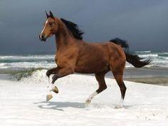 Horse / Dutch Warmblood Wallpaper Für Desktop, Tier Wallpaper, Horse Wallpaper, Animal Wallpaper, Beach Wallpaper, Wallpapers, Beautiful Horse Pictures, Beautiful Horses, Animals Beautiful