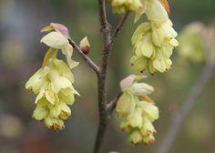 Corylopsis spicata - schijnhazelaar - one of my favourite shrubs