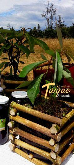 Maseteros y Jardineras de Quila (Bambú Chileno) con Renuevos de Canelo Árbol Sagrado de la Cosmologia Mapuche - Williche