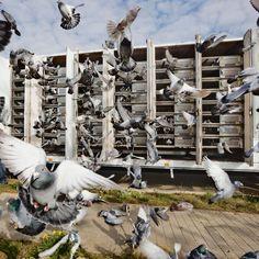 Racing Pigeons « I Love Belgium