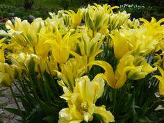 yellow themed Tulips Spring Flowering Bulbs, Spring Bulbs, Growing Tulips, Yellow, Garden, Plants, Color, Garten, Lawn And Garden