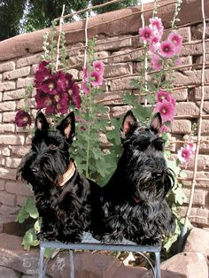 .Scottie dogs and Hollyhocks..2 of my faves
