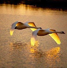 flying swans at sunset