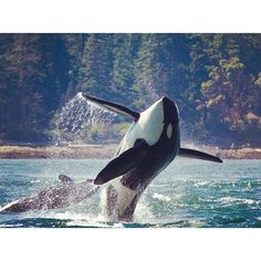 One reason I was thrilled about moving to the pacific northwest was to be able to see orcas! They're stunning, gentle giants. Orcas, Animals Beautiful, Cute Animals, Save The Whales, Underwater Life, Ocean Creatures, Mundo Animal, Sea And Ocean, Killer Whales