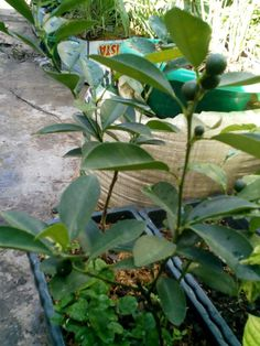 Grafted Calamansi/lemonsito fruiting for the first time....