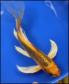 1000 images about koi on pinterest carp butterfly koi for Live dragon koi fish