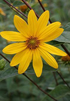 HELIANTHUS STRUMOSUS - Indigène L'hélianthe strumosus est parfaite pour apporter de la lumière dans des endroits plus ombragés. Les graines sont une nourriture de choix pour les oiseaux en début d'automne. Se cultive dans tous les types de sol bien drainé même sablonneux. Zone 4 QC -Nom commun:Tournesol vivace - Hauteur:145cm X 60cm - Soleil à mi-ombre août-septembre