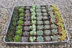 """2"""" Wedding Succulents bulk wholesale succulent prices at the succulent source - 1"""