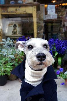 Ein by Terry #Miniature #Schnauzer love his little turtle neck and peacoat!