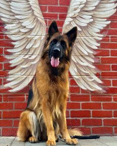 German shepherds are one of the most constant pet dog breeds to make the American Kennel Club's yearly list of the most popular pets. German Shepherd Breeds, German Shepherd Puppies, German Shepherds, Baby Dogs, Dogs And Puppies, Doggies, I Love Dogs, Cute Dogs, Black Shepherd