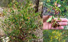 Hop Bush Dodonaea Lanceolata var. Subsessilifolia Seeds