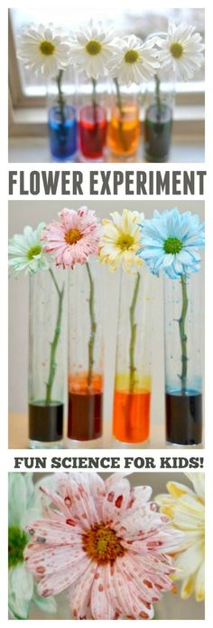 FLOWER EXPERIMENT FOR KIDS- fun science! We first tried this science experiment using roses when Rosie was a toddler. Now that my girls are older I wanted to revisit the experiment , this time… Science Week, Teaching Science, Science Art, Summer Science, Science Centers, Science Nature, Forensic Science, Earth Science, Life Science