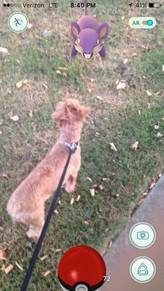 bob furlong ‏ Sorry I missed chat tonight. The dog needed to be walked so he could catch some Pokemon Go, Bob, Twitter, Animals, Animais, Animales, Bucket Hat, Animaux, Animal