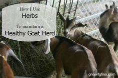 Through research and following the advice of qualified herbalists, I've learned a few tips and tricks to keeping my goat herd in good shape using herbs. You can too! | http://TraditionalCookingSchool.com