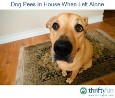 This is a guide about when a dog pees in house when left alone. Even a house trained dog will have accidents under certain circumstances.