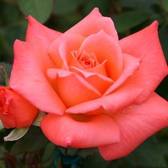 """Seashell, Beautiful orange and salmon-pink double, classic shaped hybrid tea 4"""" blooms (petals 48) contrast well against medium green foliage. This easy to grow continual blooming rose is vigorous and upright in stature."""
