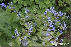 Wenches hage: Brunnera macrophylla 'Jack Frost'