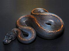 Suma - Morph List - World of Ball Pythons