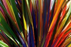 Rainbow Color New Zealand Flax