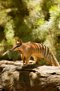 The numbat is a small carnivorous marsupial from Australia, and the only member of the family Myrmecobiidae. It is a specialised termite-eater and is easily recognised by its slender, graceful body and short, stiff hair which is reddish-brown with black and white stripes across its back and rump.