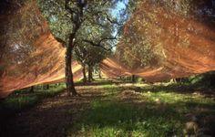 Alberi di Olive, con reti stese per la raccolta, Lerici - Liguria #essenzadiriviera.com
