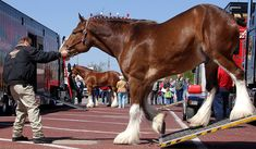 Clydesdale Horses Budweiser | The Budweiser Clydesdale horses were in town for several functions ...