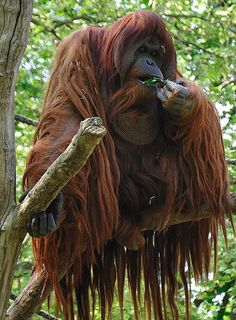 Orangutan - some hair!  Avoid palm oil.  Land clearing for palm oil plantations is destroying orang habitat.
