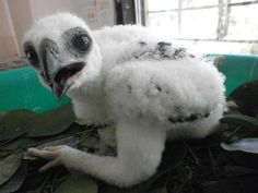 Pinsker Hawk-Eagle chick -- a first for The Phillippine Eagle Foundation